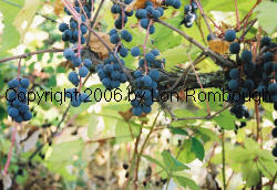 Vitis Lincecumii | RM.