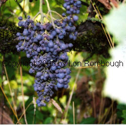 Black Corinth Grapes 1