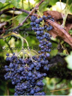 Black Corinth Grapes 2
