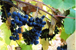 Buffalo Grapes 1