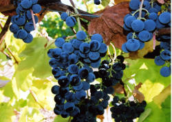 Buffalo Grapes 2