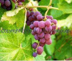 Einset Grapes 1