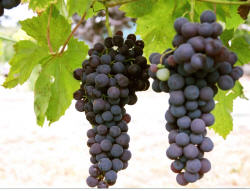 Flame Seedless Grapes 1