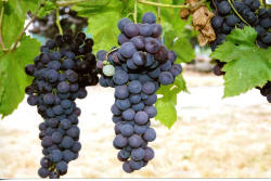 Flame Seedless Grapes 2