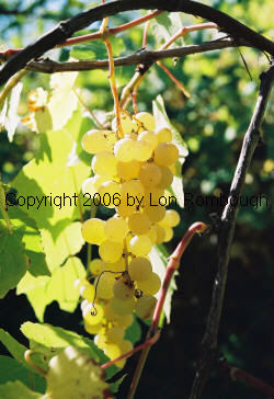 Interlaken Seedless Grapes 3