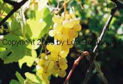 Interlaken Seedless Grapes 4