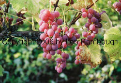Iona Grapes 2