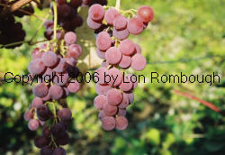 Iona Grapes 3