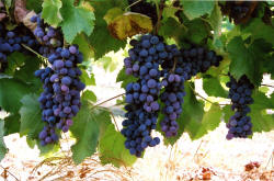 Jupiter Grapes 1