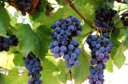 Jupiter Grapes 2