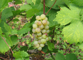 http://www.bunchgrapes.com/images/Orange_Muscat_3tn.jpg