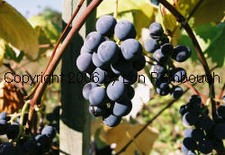 Royal Blue Seedless Grapes 1