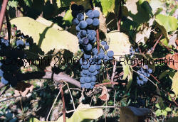 Royal Blue Seedless Grapes 2