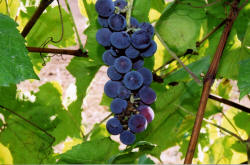 Swenson Red Grapes 1