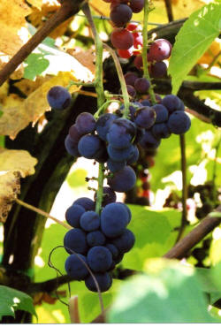 Swenson Red Grapes 3
