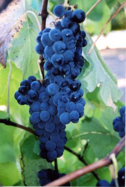 Venus Grapes 3