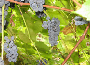 Valiant Grapes 1